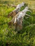 Mentira de dos abedules en la hierba verde Foto de archivo libre de regalías