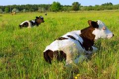 Mentira de dos vacas en campo del resorte fotos de archivo