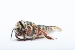 Mentira de la abeja negra Imagen de archivo