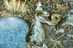 Mentira de la serpiente encrespada en la tierra Fotos de archivo libres de regalías