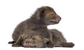 Mentira de los cachorros del Fox (4 semanas de viejo) Imágenes de archivo libres de regalías