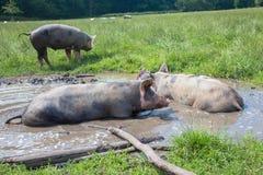 Mentira de los cerdos en un charco de fango imágenes de archivo libres de regalías