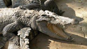 Mentira de los cocodrilos cerca del agua del color verde Muddy Swampy River tailandia asia almacen de video