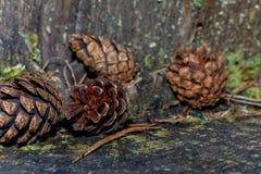 Mentira de los conos del pino en el tocón imagenes de archivo