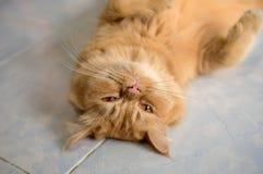 Mentira de los gatos en las baldosas Fotografía de archivo