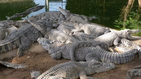 Mentira de muchos cocodrilos cerca del agua del color verde Muddy Swampy River tailandia asia almacen de video