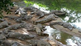 Mentira de muchos cocodrilos cerca del agua del color verde Muddy Swampy River tailandia asia almacen de metraje de vídeo