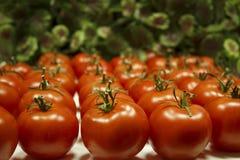 Mentira de muitos tomates nas fileiras Foto de Stock