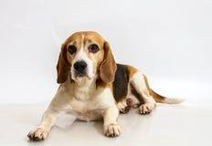 Mentira del beagle Fotos de archivo libres de regalías