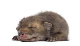 Mentira del cachorro del Fox (4 semanas de viejo) Imagen de archivo libre de regalías