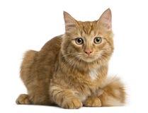 Mentira del gatito de Maine Coon Imagen de archivo libre de regalías