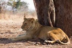 Mentira del león bajo el árbol Fotos de archivo libres de regalías