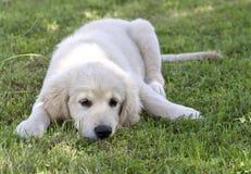 Mentira del perrito del perro perdiguero de oro Imagen de archivo libre de regalías