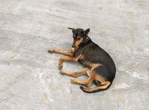 Mentira del perro Imagen de archivo libre de regalías