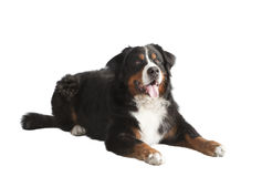 Mentira del perro de montaña de Bernese Imágenes de archivo libres de regalías