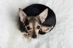 Mentira del perro del terrier de juguete fotografía de archivo libre de regalías
