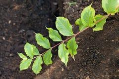 Mentira do ramo de florida Nana Variegata do Weigela na terra Imagem de Stock