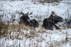 Mentira dos alces e da vaca dos alces que descansa na floresta do inverno fotos de stock