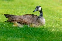 Mentira dos bebês do ganso de Canadá ao lado da mamã Foto de Stock