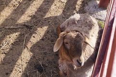 A mentira dos carneiros na pena Foto de Stock Royalty Free