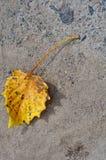 Mentira en un primer de la hoja del amarillo del otoño de la roca Foto de archivo