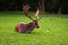 Mentira femenina de los ciervos en barbecho Imagen de archivo libre de regalías
