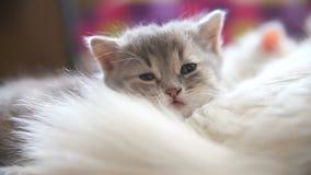 Mentira gris del gatito de la cara grande dormida en otro blanco metrajes
