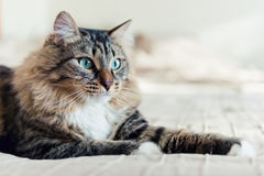 Mentira gris del gato Imagen de archivo