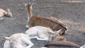 Mentira joven de los ciervos en la tierra almacen de video