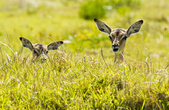Mentira joven del impala en hierba larga Fotografía de archivo