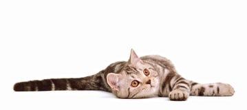 Mentira juguetona del gatito del doblez del skottish aislada Foto de archivo libre de regalías