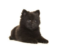 Mentira linda abajo perro de perrito pomeranian negro aislado en un b blanco Imagen de archivo libre de regalías