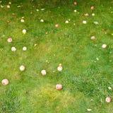 Mentira madura caida de las manzanas en hierba verde Imágenes de archivo libres de regalías
