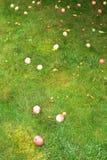 Mentira madura caida de las manzanas en hierba verde Fotografía de archivo