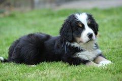 Mentira magnífica del perrito del perro de montaña de Bernese Imagen de archivo libre de regalías