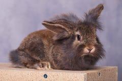 Mentira peluda adorable del conejito del conejo de la cabeza del león Fotos de archivo libres de regalías