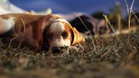 Mentira pequena do cão do lebreiro na grama filme