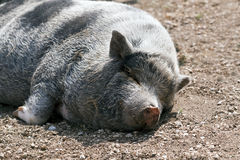 Mentira perezosa del cerdo Imagenes de archivo