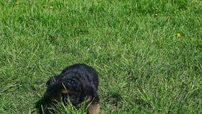 Mentira preta do cachorrinho do pastor alemão do close up um na grama verde vídeos de arquivo