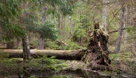 Mentira quebrada del trynk del árbol de pino Fotos de archivo