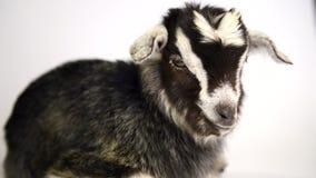 Mentira recién nacida de la cabra Aislado en el fondo blanco almacen de video