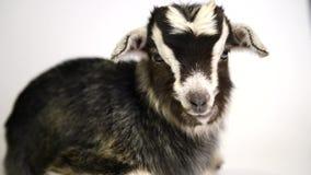 Mentira recién nacida de la cabra Aislado en el fondo blanco metrajes