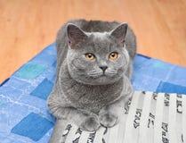 Mentira recta escocesa de la raza del gato en la almohada Imágenes de archivo libres de regalías