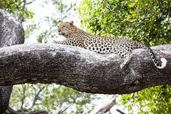 Mentira relajada leopardo en una ramificación foto de archivo libre de regalías