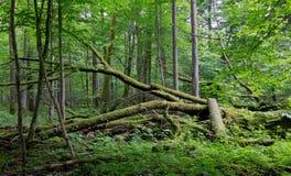 Mentira rota roble viejo en bosque de la primavera Fotos de archivo libres de regalías