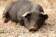 Mentira salvaje del cerdo Imágenes de archivo libres de regalías