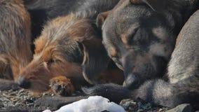 Mentira sin hogar congelada de los perros en la tierra un paquete de perros sin hogar abandonados congelados se calienta sobre un almacen de video