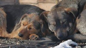 Mentira sin hogar congelada de los perros en la tierra un paquete de perros sin hogar abandonados congelados se calienta sobre un metrajes
