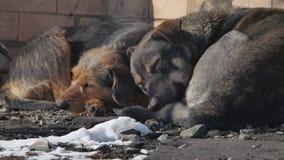Mentira sin hogar congelada de los perros en la tierra un paquete de perros sin hogar abandonados congelados se calienta sobre un almacen de metraje de vídeo