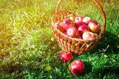 Mentira vermelha de duas maçãs na grama Fotografia de Stock Royalty Free